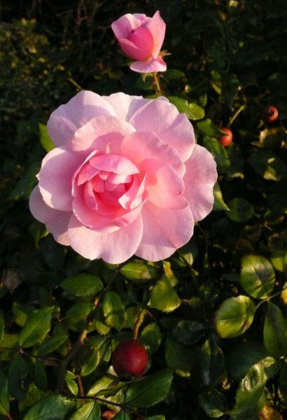 Rose und Hagebutte